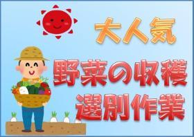 農業(ブロッコリーの収穫選別作業、5月末スタート、短期)