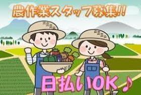 農業(短期/7月15日~9月末/ミニトマト収穫・箱詰め)